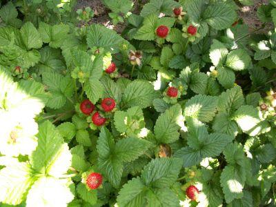 Indisk Jordbær