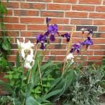 Iris staude